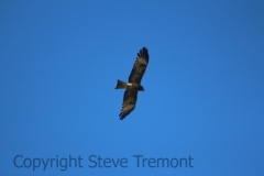Square-tailed-Kite-Big-Hill-Point-NSW-12-7-2014-SMT-1