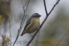 Striated-Pardalote-250-Pine-Forest-Road-Armidale-NSW-17-8-2013-SMT-1