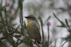 Striated-Pardalote-250-Pine-Forest-Road-Armidale-NSW-7-11-2014-SMT-4