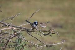 Superb-Fairy-wren-250-Pine-Forest-Road-Armidale-NSW-19-12-2017-SMT-8