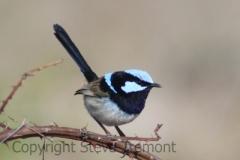 Superb-Fairy-wren-Armidale-Pine-Forest-NSW-18-9-2013-SMT-1