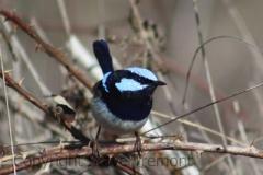 Superb-Fairy-wren-Armidale-Pine-Forest-NSW-18-9-2013-SMT-2