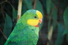 Superb-Parrot-Something-Wild-Wildlife-Sanctuary-Maydena-TAS-17-2-2007-SMT-1