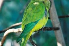 Superb-Parrot-female-Western-Plains-Zoo-19-4-2005-SMT-2