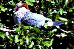 Topknot-Pigeon-Dorrigo-NP-SMT
