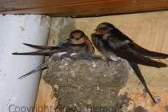 Welcome-Swallow-250-Pine-Forest-Road-Armidale-NSW-15-11-2008-SMT-1