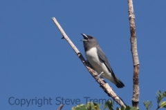 White-breasted-Woodswallow-Renner-Springs-Roadhouse-NT-11-4-2016-SMT