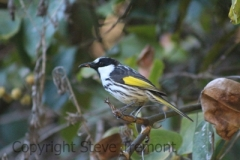 White-cheeked-Honeyeater-Big-Hill-Point-NSW-12-7-2014-SMT-2
