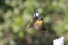 White-cheeked-Honeyeater-Big-Hill-Point-NSW-12-7-2014-SMT-3