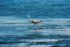 White-faced-Heron-Buckleys-Hole-Conservation-Park-Bribie-Island-QLD-24-4-2006-SMT-2