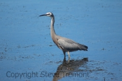 White-faced-Heron-Shoalhaven-Heads-NSW-29-12-2014-SMT-1