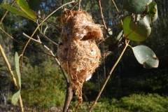 White-throated-Gerygone-nest-Pine-Forest-Armidale-NSW-6-12-2012-SMT-2