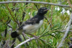 Willie-Wagtail-fledgling-250-Pine-Forest-Road-Armidale-NSW-29-11-2010-SMT-3