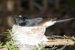 Willy-Wagtail-250-Pine-Forest-Road-Armidale-NSW-16-11-2009-SMT