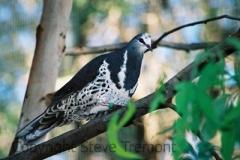 Wonga-Pigeon-Taronga-Zoo-NSW-17-4-2007-SMT-4