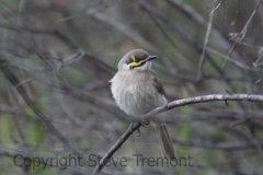 Yellow-faced-Honeyeater-250-Pine-Forest-Road-Armidale-NSW-21-1-2013-SMT-4