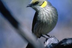 Yellow-fronted-Honeyeater-Yudnamatana-Ck-16-7-1985-SMT
