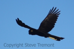 Yellow-tailed-Black-Cockatoo-250-Pine-Forest-Road-Armidale-NSW-16-8-2013-SMT-2