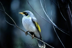 Yellow-throated-Miner-Wilpena-Flinders-Ranges-SA-6-7-1983-SMT