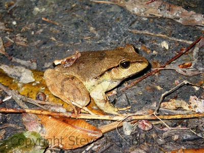 Lechriodus-fletcheri-Fletchers-Flog-Mount-Hyland-Wilderness-Retreat-via-Dundurrabin-NSW-12-10-2013-SMT-2