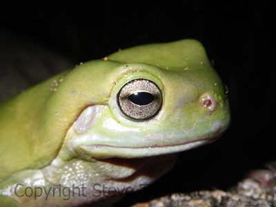 Litoria-caerulea-Green-Tree-Frog-Arakoon-NSW-24-11-2008-SMT-2
