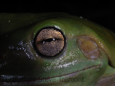 Litoria-caerulea-Green-Tree-Frog-Arrawarra-NSW-27-11-2006-SMT-7