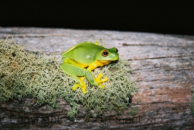 Litoria-chloris-Red-eyed-Tree-Frog-Mt-Hyland-Forest-Lodge-NSW-18-7-2006-SMT-2