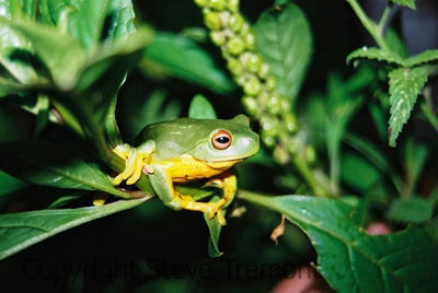 Litoria-chloris-Red-eyed-Tree-Frog-Mt-Hyland-Forest-Lodge-NSW-18-7-2006-SMT-4
