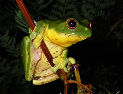 Litoria-chloris-Red-eyed-Tree-Frog-Mt-Hyland-Forest-Lodge-NSW-28-11-2008-SMT-1