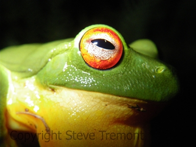Litoria-chloris-Red-eyed-Tree-Frog-Mt-Hyland-Forest-Lodge-NSW-28-11-2008-SMT-4