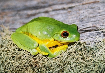 Litoria-chloris-Red-eyed-Tree-Frog-cropped-Mt-Hyland-Forest-Lodge-NSW-18-7-2006-SMT-1