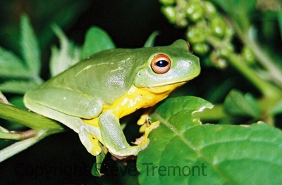 Litoria-chloris-Red-eyed-Tree-Frog-cropped-Mt-Hyland-Forest-Lodge-NSW-18-7-2006-SMT-5