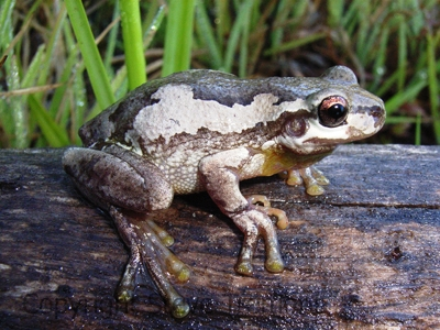 Litoria-dentata-Bleating-Tree-Frog-250-Pine-Forest-Road-Armidale-NSW-28-1-2008-SMT-1