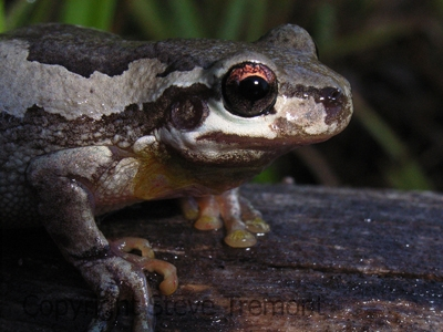 Litoria-dentata-Bleating-Tree-Frog-250-Pine-Forest-Road-Armidale-NSW-28-1-2008-SMT-4