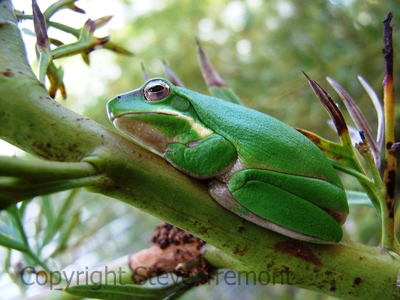 Litoria-fallax-Dwarf-Green-Tree-Frog-250-Pine-Forest-Road-Armidale-NSW-29-10-2006-SMT-2