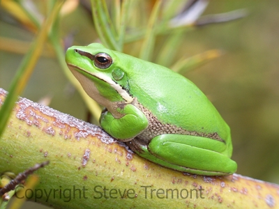 Litoria-fallax-Dwarf-Green-Tree-Frog-250-Pine-Forest-Road-Armidale-NSW-5-11-2006-SMT-1