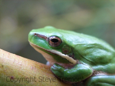 Litoria-fallax-Eastern-Dwarf-Tree-Frog-250-Pine-Forest-Road-Armidale-NSW-8-9-2006-SMT-2