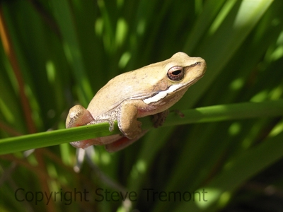 Litoria-fallax-Eastern-Dwarf-Tree-Frog-250-Pine-Forest-Road-Armidale-NSW-9-9-2007-SMT-3