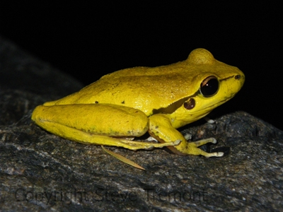 Litoria-lesueurii-Lesueurs-Frog-Rowleys-Creek-via-Walcha-NSW-13-12-2008-SMT-4