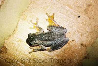 Litoria-peronii-Perons-Tree-Frog-250-Pine-Forest-Road-Armidale-NSW-15-2-2009-SMT-1