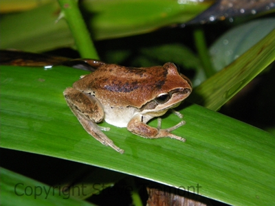 Litoria-verreauxii-Mt-Hyland-Forest-Lodge-NSW-28-11-2008-SMT-1