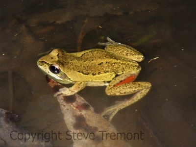 Litoria-verreauxii-Native-Dog-Creek-Cathedral-Rock-NP-NSW-27-08-2011-SMT-02