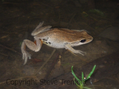 Litoria-verreauxii-Native-Dog-Creek-Cathedral-Rock-NP-NSW-27-08-2011-SMT-04