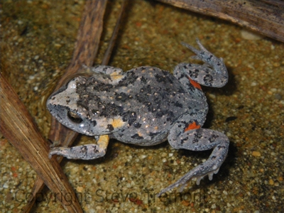Uperoleia-laevigata-Smooth-Toadlet-250-Pine-Forest-Road-Armidale-NSW-27-8-2010-SMT-7
