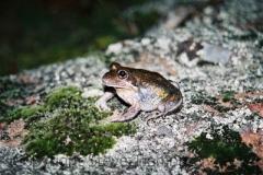Limnodynastes-dumerilii-Eastern-Banjo-Frog-Namoi-River-Warrabah-NP-2-9-2005-SMT