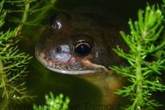 Limnodynastes-dumerilii-Eastern-Pobblebonk-250-Pine-Forest-Road-Armidale-NSW-14-11-2011-SMT-2