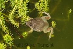 Limnodynastes-dumerilii-Eastern-Pobblebonk-250-Pine-Forest-Road-Armidale-NSW-21-1-2013-SMT-2
