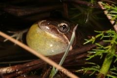Limnodynastes-dumerilii-Eastern-Pobblebonk-250-Pine-Forest-Road-Armidale-NSW-21-1-2013-SMT-8