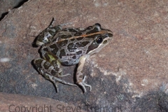Limnodynastes-tasmaniensis-Spotted-Marsh-Frog-250-Pine-Forest-Road-Armidale-NSW-5-11-2006-SMT-3