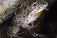 Limnodynastes-tasmaniensis-Spotted-Marsh-Frog-250-Pine-Forest-Road-Armidale-NSW-5-11-2006-SMT-7